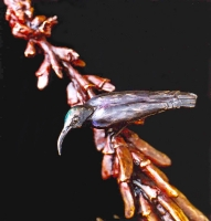 Amethyst sunbird on Erythrina humeana flower