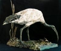 Sacred Ibis with Dungbeetle