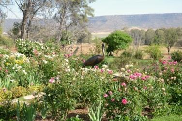 Wattled Crane life size